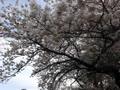 2017年4月12日石川運動ひろばの桜 満開